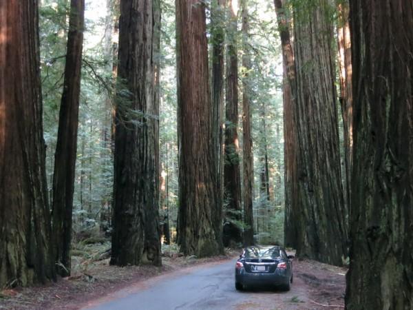 Blant sequoiatrær føler man seg liten